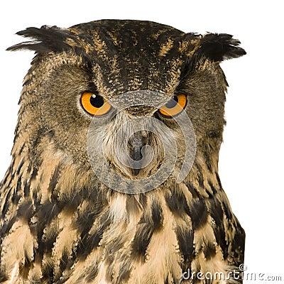 Free Eurasian Eagle Owl - Bubo Bubo (22 Months) Stock Photo - 4991480