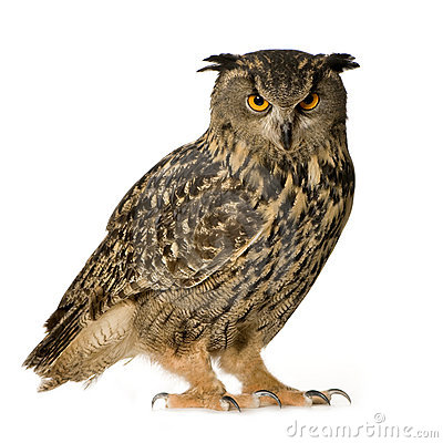 Free Eurasian Eagle Owl - Bubo Bubo (22 Months) Royalty Free Stock Photography - 4991607