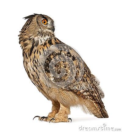 Free Eurasian Eagle-Owl, Bubo Bubo Royalty Free Stock Image - 24708766