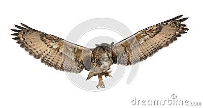 Eurasian Eagle-Owl, Bubo bubo