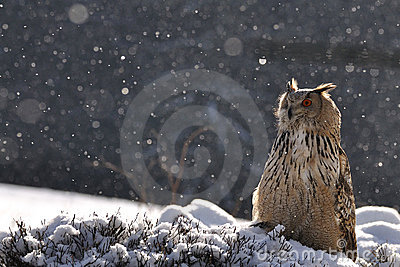 Eurasian Eagle Owl sitting on ground when snowing