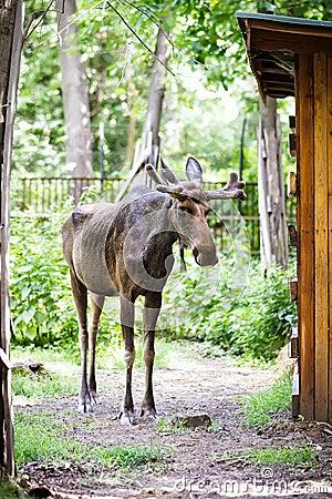 Eurasian elk - photo#11