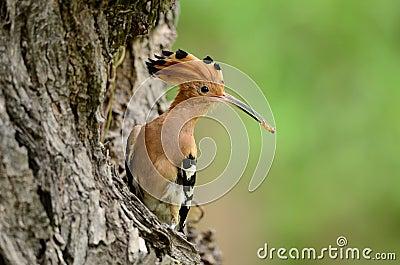 Eurasian hoopoe (Upupa epops)