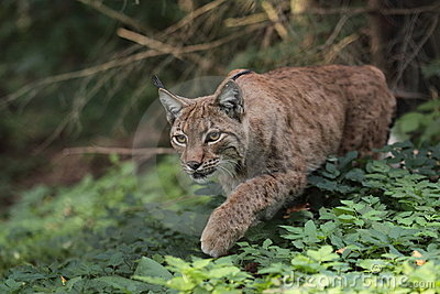 Eurasian Lynx Stock Photo - Image: 21227630