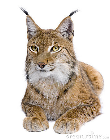 Eurasian Lynx, 5 years old, lying down