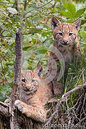Eurasian lynx cubs
