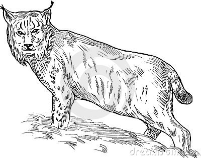Eurasian lynx drawing