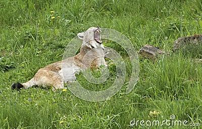 Eurasian Lynx gaping