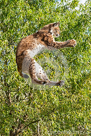 Eurasian Lynx Jumping to Catch Something