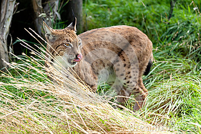 Eurasian Lynx in Long Grass Licking Nose