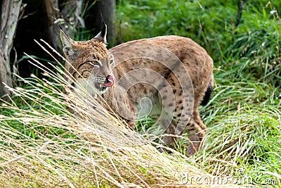 Eurasian Lynx in Long Grass Licking Nose