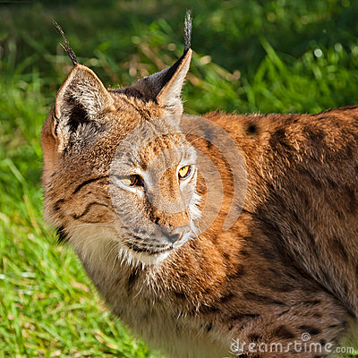 Eurasian Lynx Looking Over Shoulder
