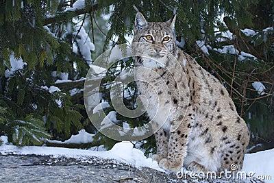Eurasian lynx (Lynx lynx).