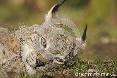 Eurasian lynx (lynx lynx )