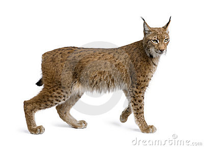 Eurasian Lynx, lynx lynx, 5 years old