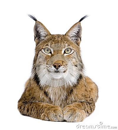 Free Eurasian Lynx - Lynx Lynx (5 Years Old) Stock Photo - 9537600
