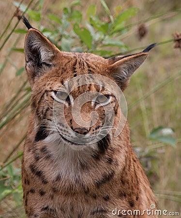 Eurasian lynx (Lynx lynx) portrait