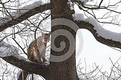 Eurasian lynx (Lynx lynxs) licking his chops