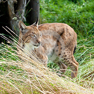 Eurasian Lynx Prowling through Long Grass