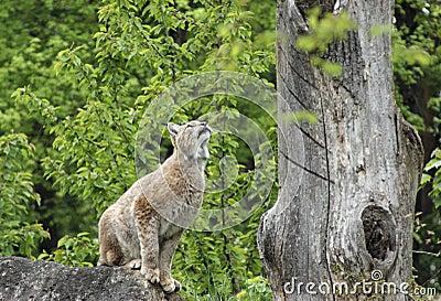 Eurasian Lynx ready to jump