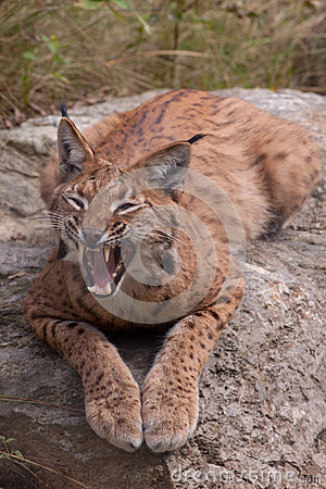 Eurasian lynx showing its teeth