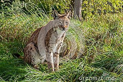Eurasian Lynx Sitting in Long Grass