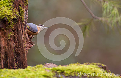 Eurasian Nuthatch on log