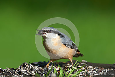 Eurasian Nuthatch eating seeds at a bird feeding station.