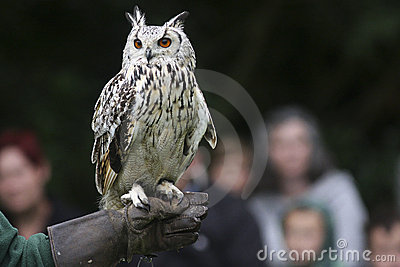 Eurasian Owl perched on a glove