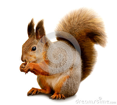 Free Eurasian Red Squirrel In Front Of A White Background Stock Photography - 54934992