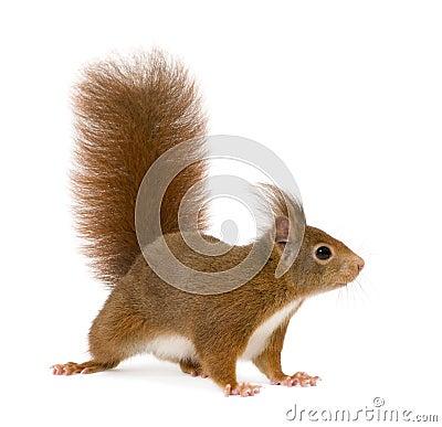 Free Eurasian Red Squirrel - Sciurus Vulgaris (2 Years) Stock Photo - 5540460