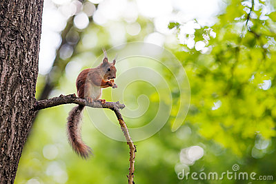 Eurasian Red Squirrel (Sciurus Vulgaris) Royalty Free Stock Images - Image: 25687639