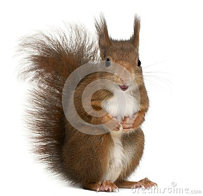 Free Eurasian Red Squirrel, Sciurus Vulgaris, 4 Years Old, In Front O Royalty Free Stock Images - 103834929