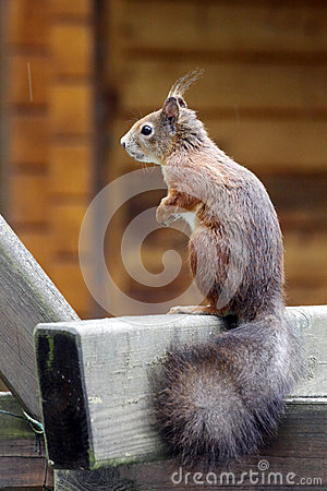 Eurasian red squirrel / Sciurus vulgaris on the outlook