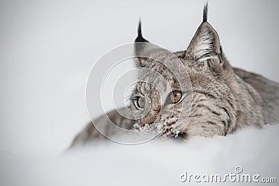 Eurasian ryś