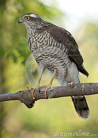 Free Eurasian Sparrowhawk (Accipiter Nisus) Stock Photos - 56767683