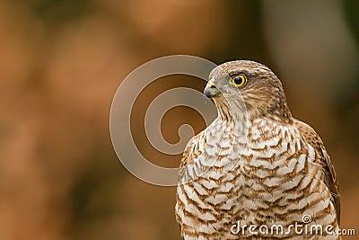 Eurasian sparrowhawk close-up