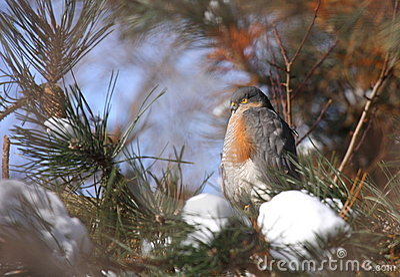 Eurasian sparrowhawk male