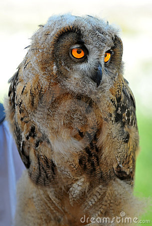 Euroasian Eagle Owl chick