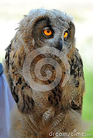 Euroasian Eagle Owl chick
