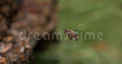 Europäische Honey-Biene, Apis mellifera, Schwarze Bienen am Eingang der Biene, Biene in Flight, Bienenstöcke in der Normandie, S stock video footage