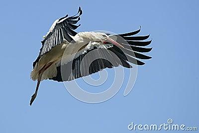 Europäischer weißer Storch
