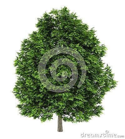 Free European Ash Tree Isolated On White Stock Photos - 22708613