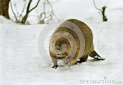 European beaver ( Castor fiber )