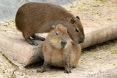 The European beaver or Eurasian beaver