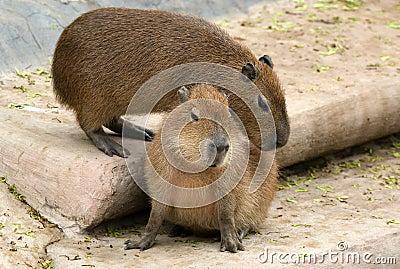 The European beaver or Eurasian beaver