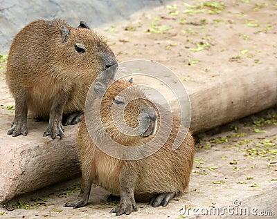 European beaver or Eurasian beaver (Castor fiber)