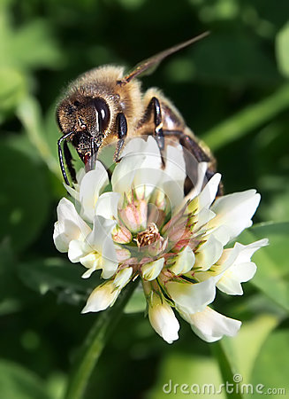 European bee pollinating clover blossom