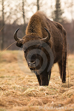 Free European Bison Royalty Free Stock Photography - 20136397