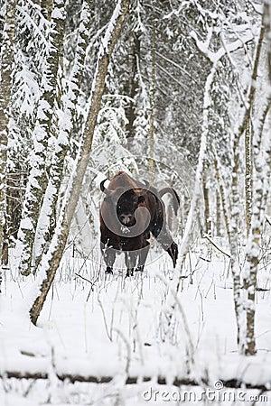 Free European Bison Royalty Free Stock Photo - 49759575